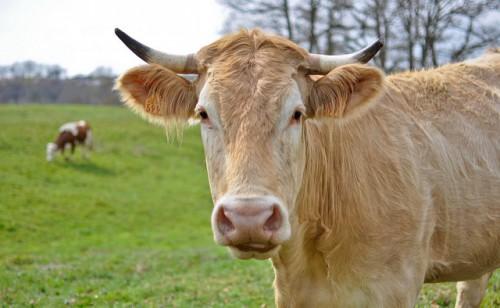 В с.Стрелковое водитель сбил корову на ночной прогулке